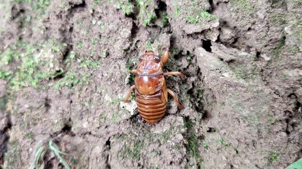 セミの幼虫.jpg
