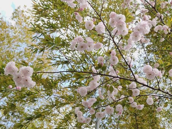 八重桜白.jpg